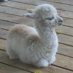 Profilový obrázek The Cheeky Sheep