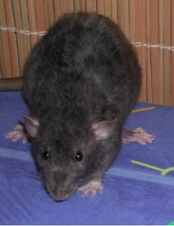 Profilový obrázek Black Rat