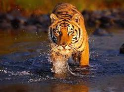 Profilový obrázek Walking Tiger