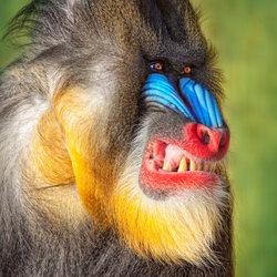 Profilový obrázek Mandril