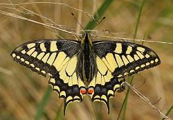 Profilový obrázek Papillio