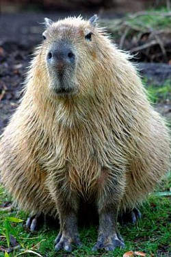 Profilový obrázek Kapybara