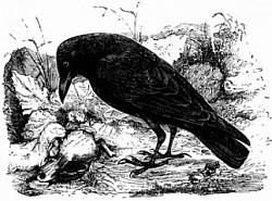 Profilový obrázek Carrion crow