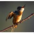 Profilový obrázek Alcedo atthis