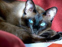 Profilový obrázek Paní Siamská kočka