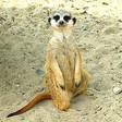 Profilový obrázek surikatta